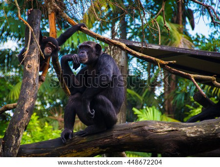 Mummy chimpanzee and a kid. The thinker - stock photo