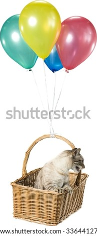 Munchkin Cat Flying in a Basket with Balloons - Isolated