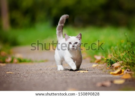 munchkin kitten outdoors - stock photo