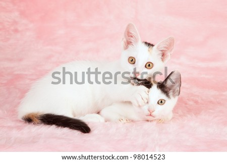 Munchkin kittens playing on pink background
