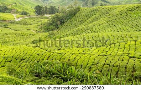 munnar tea plantations - stock photo