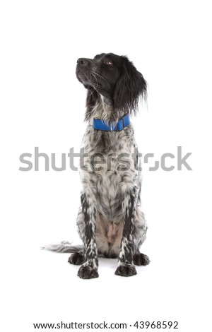 Munsterlander hunting dog sitting isolated over white background