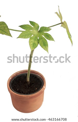 Murraya paniculata in straw flowerpot on white background, isolated