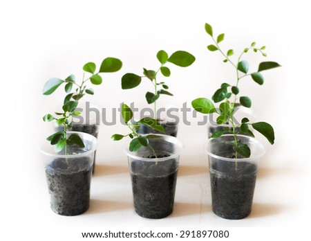 murraya sprouts in plastic cup on white background