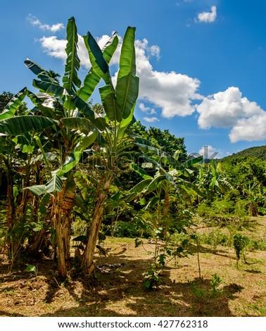 Musa acuminata, popular banana trees grown in gardens for its lush foliage,Khao Sok, Surat Thani Province, Thailand. - stock photo