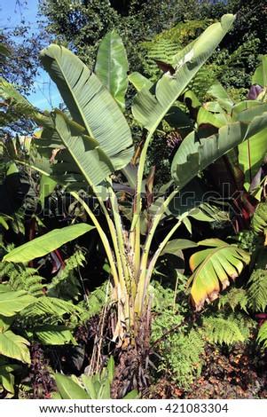 Musa Basjoo, a popular banana tree grown in gardens for its lush foliage - stock photo