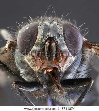Musca Domestica Low Scale Magnification - stock photo