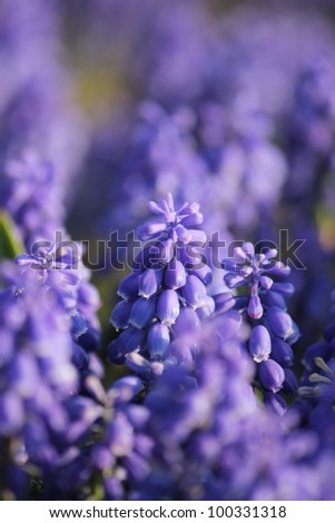 Muscari flower field