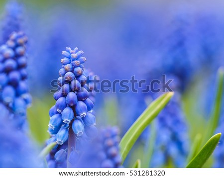 Muscari flowers hyacinths blooming at Keukenhof, The Netherlands
