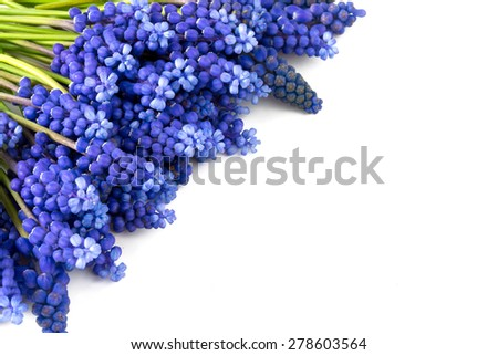 muscari flowers isolated on white - stock photo