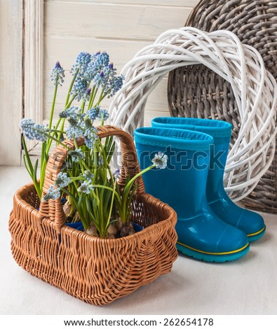 Muscari sprouts and blue rubber boots over wooden table.