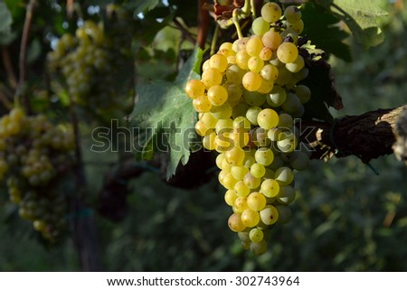 muscat grapes on the vine - stock photo