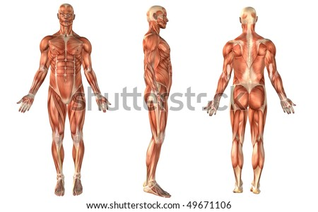 human body medical stock images, royalty-free images & vectors, Muscles