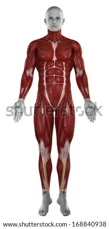Muscle anatomy anterior view - stock photo