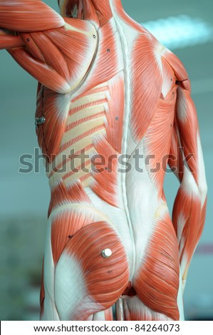 muscle anatomy of human - stock photo
