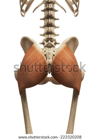 muscle anatomy - the gluteus maximus - stock photo