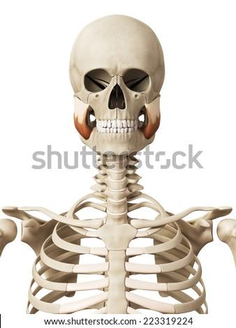 muscle anatomy - the masseter superior - stock photo