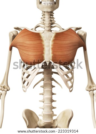 muscle anatomy - the pectoralis major - stock photo