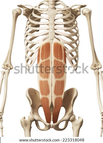muscle anatomy - the rectus abdominis - stock photo