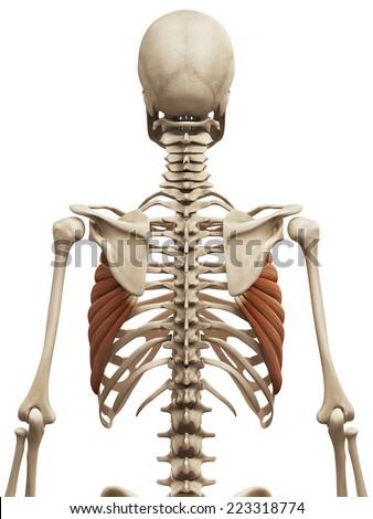 muscle anatomy - the serratus anterior - stock photo