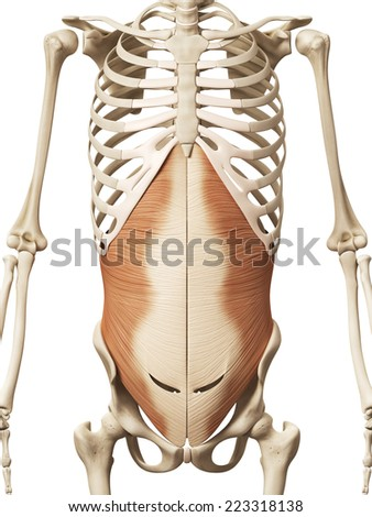 muscle anatomy - the transversus abdomini - stock photo