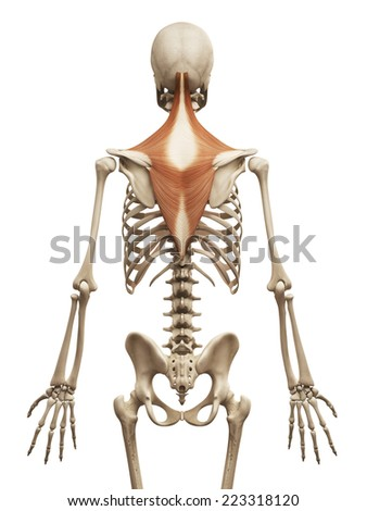 muscle anatomy - the trapezius - stock photo