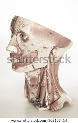 muscle of face human with old style - stock photo