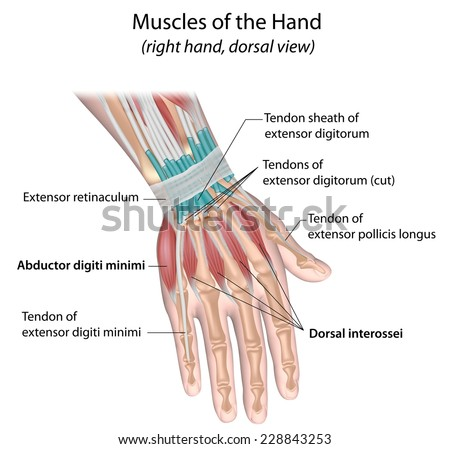 Muscles of hand, dorsal view, labeled.