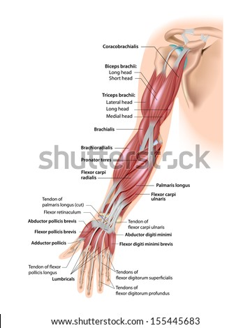 Muscles of the arm anterior labeled