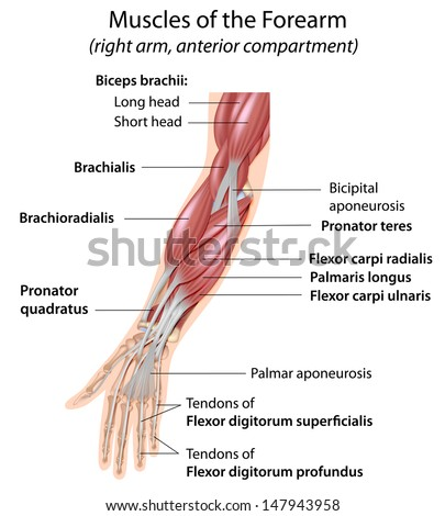 Muscles of the forearm, labeled  - stock photo