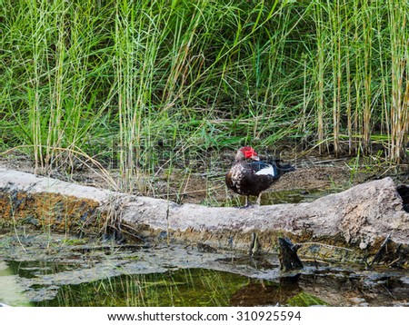 Muscovy duck and reeds at the bank of river - stock photo