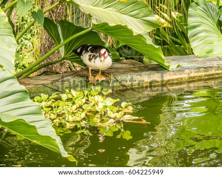 Muscovy duck family garden pool st stock photo 604225949 for Family garden pool