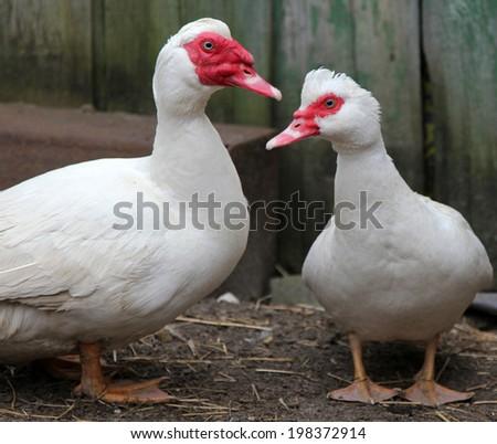 Muscovy ducks (Cairina moschata) in the farmyard - stock photo