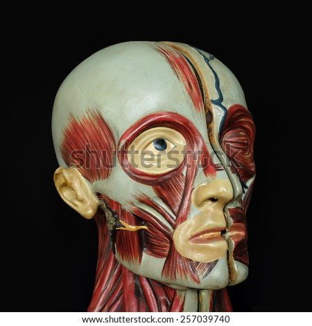 Muscular anatomy of the head, model - stock photo