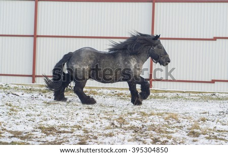 muscular black horse with a long mane and tail is on the snow