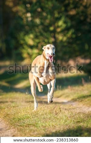 Muscular greyhound dog running in autumn - stock photo