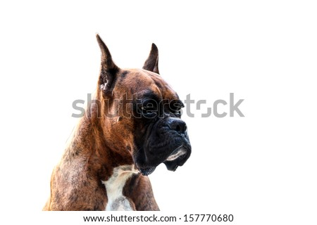 Muscular  Purebred Boxer Dog