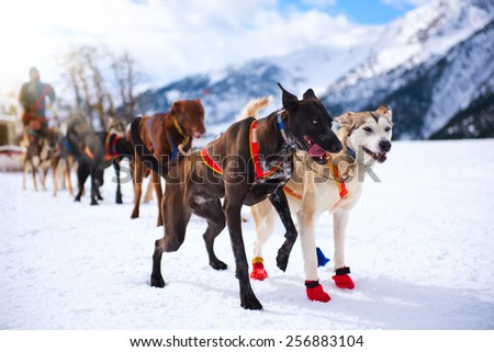 Musher hiding behind sleigh at sled dog race on snow in winter. Mountains - stock photo