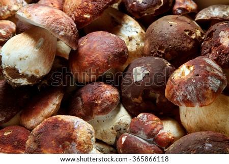 mushroom boletus - stock photo