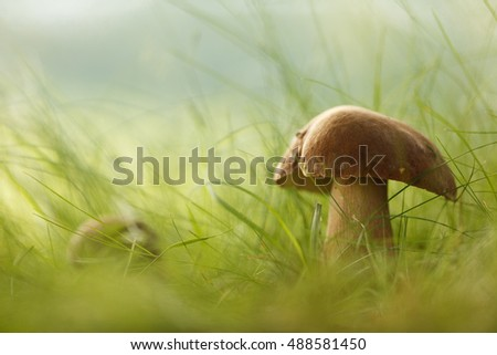 mushroom, Boletus reticulatus in the green grass