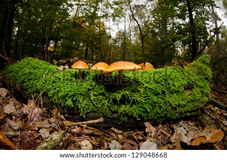 Mushroom colony on a treetrunk in the forest