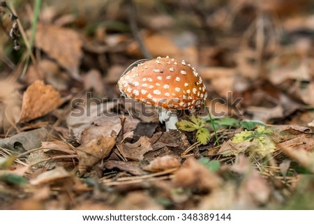 Mushroom fly agaric in the leaves.