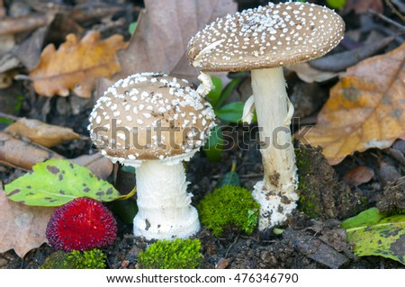 Mushroom in the forest (Amanita pantherina)