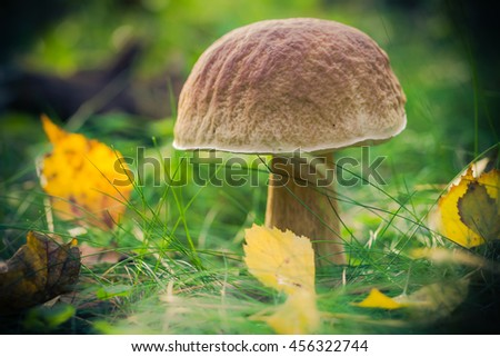 Mushroom in the forest on the grass in the sun - stock photo