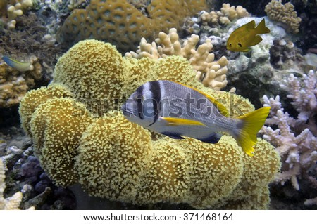 Mushroom leather coral (soft coral) - stock photo