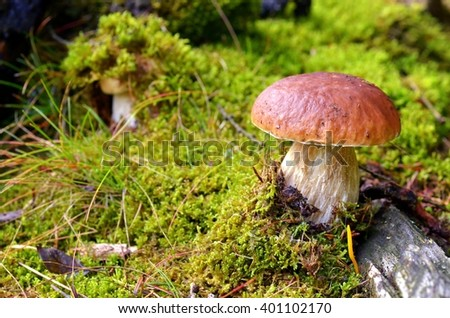 Mushroom. Mushroom (porcini) on moss in forest. Mushroom boletus edulis in forest. Mushroom boletus  - healthy and delicates food. - stock photo