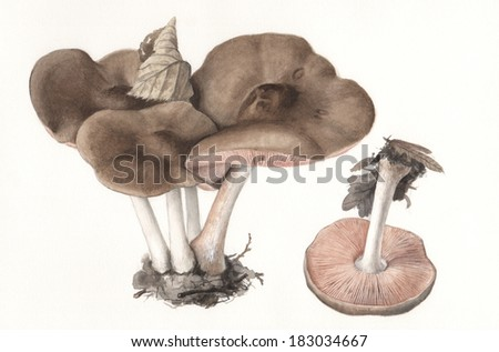 Mushroom Pluteus atricapillus - Hand painted watercolor illustration of wild mushrooms in natural context, against off-white background