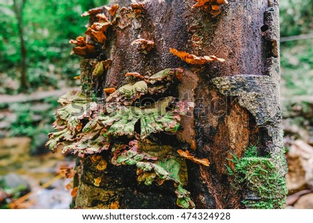 Mushroom (Pycnoporus sanguineus) is growing on the tree