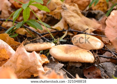 Mushrooms among the fallen yellow leaves in autumn - stock photo