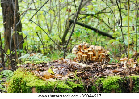 Mushrooms are growing on a stump in the forest - stock photo